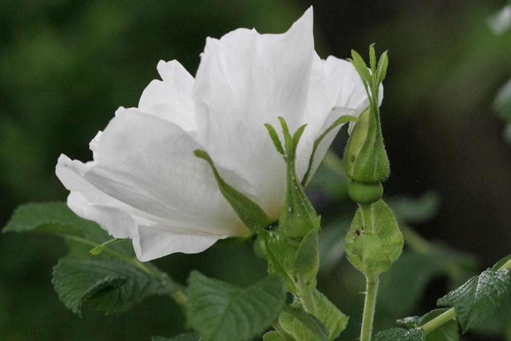 'Blanc double de Coubert'