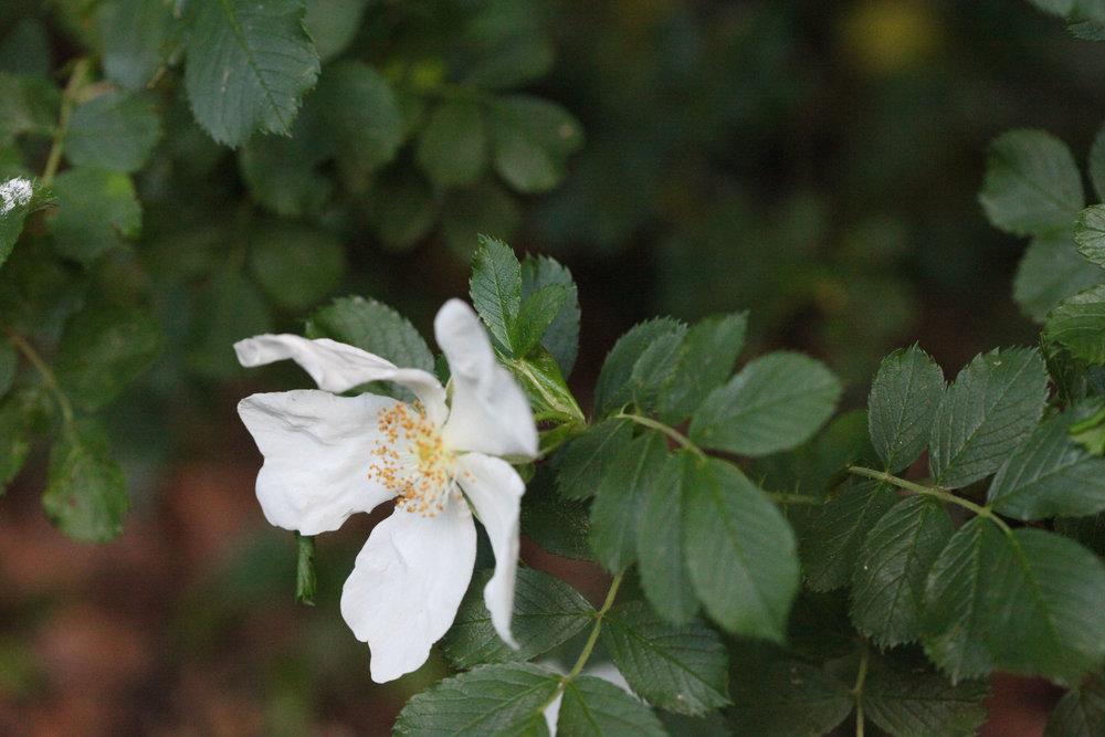 'Rosa rugosa repens alba'