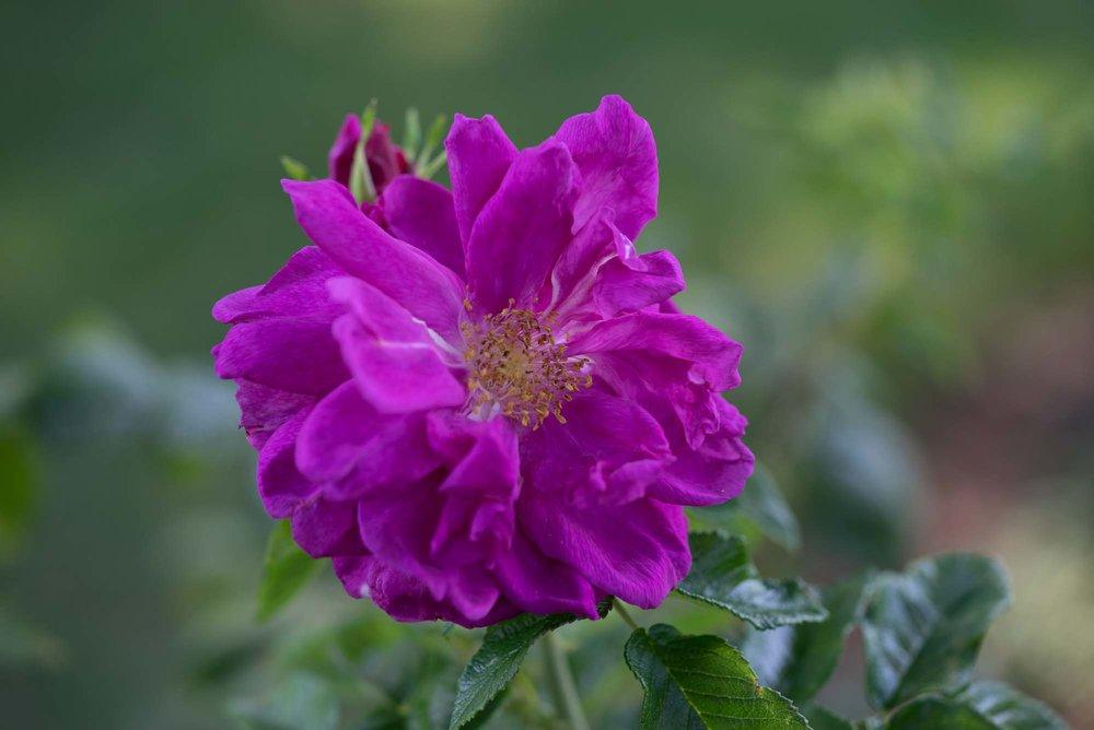 'Roseraie de l' Hay'