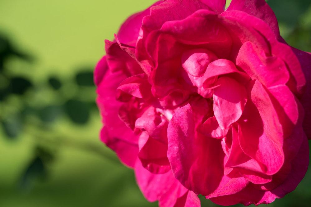'Cerise Bouquet'