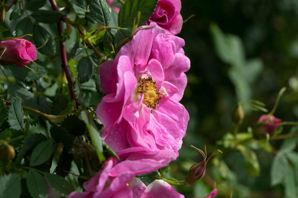 'R. californica plena'