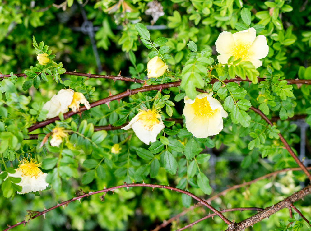 'Weihrauch-Rose'