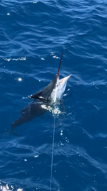 Watchdog Fishing Charters - Black Marlin