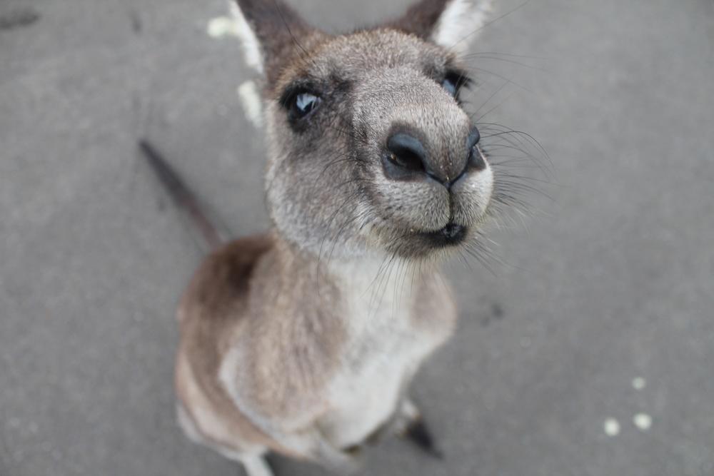 Curious kangaroo in Australia