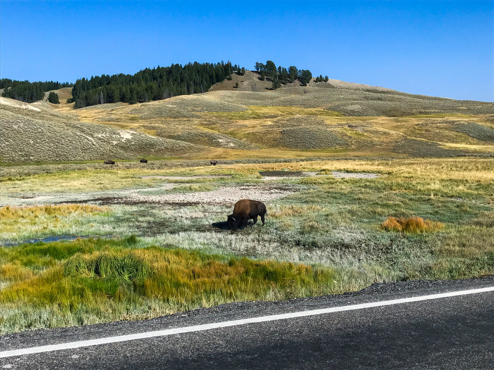 Bison grazing right by the road through Hayden Valley