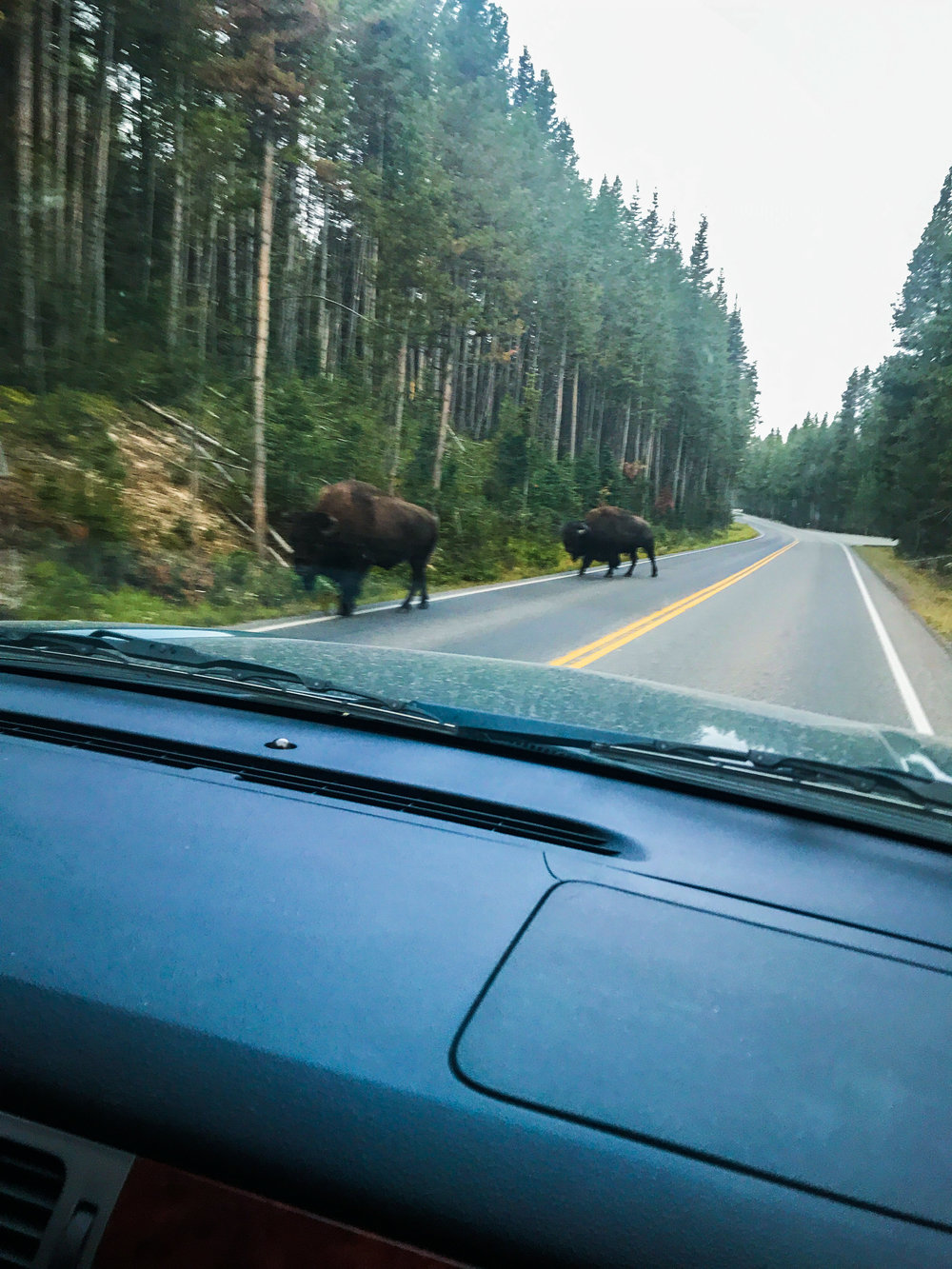 Photo taken while driving, so not the best quality but it gives you an idea of the dangers of driving too fast in Yellowstone!