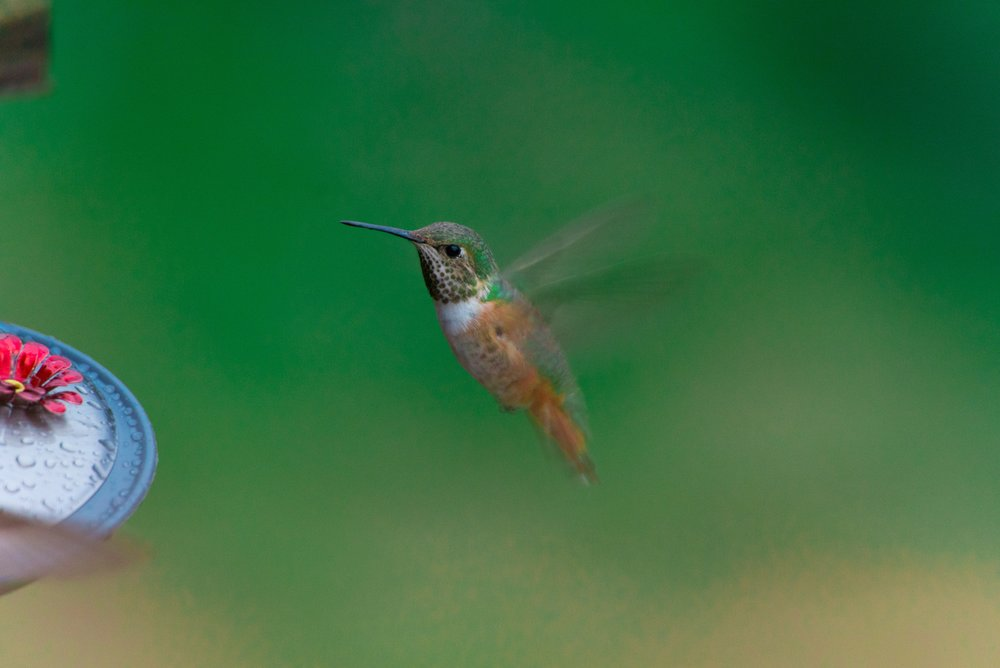 Hummingbirds like the one pictured here play an important role in pollination.   Photo Courtesy of Zac Durant on Upsplash