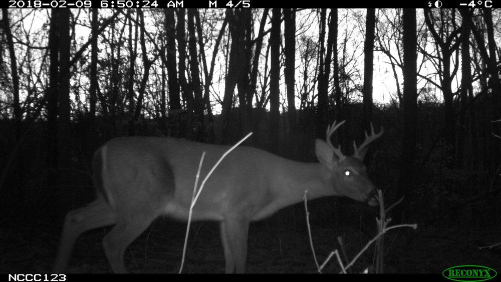 Deer.dawn.JPG