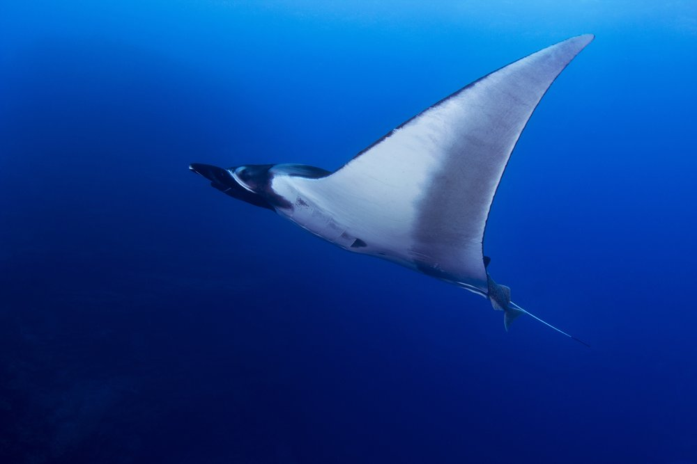 Oceanic manta rays are solitary swimmers, usually found near the surface of the ocean, though they have also been reported at depths of 394 ft. San Benedicto Island, Revillagigeo Archipelago, Mexico.