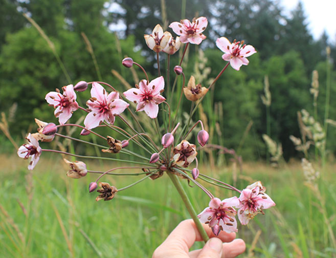 flowering rush,  Butomus umbellatus  *details*