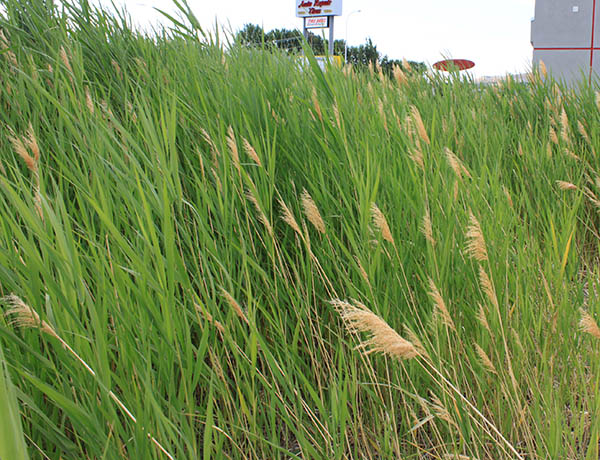common reed,  Phragmites australis    *details*