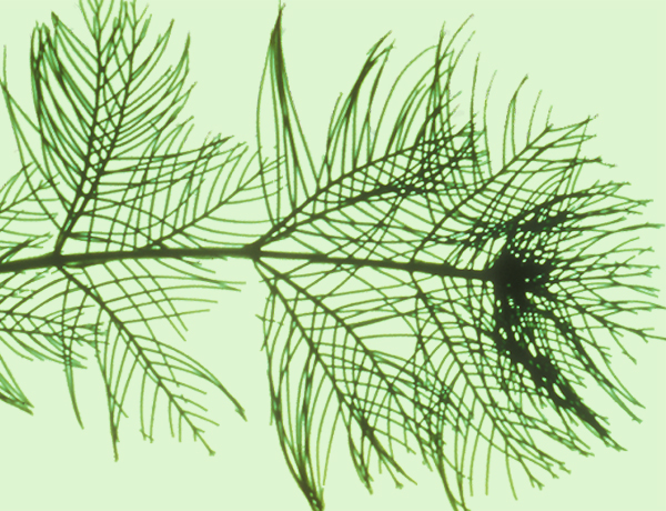 Eurasian watermilfoil,  Myriophyllum spicatum   *details*