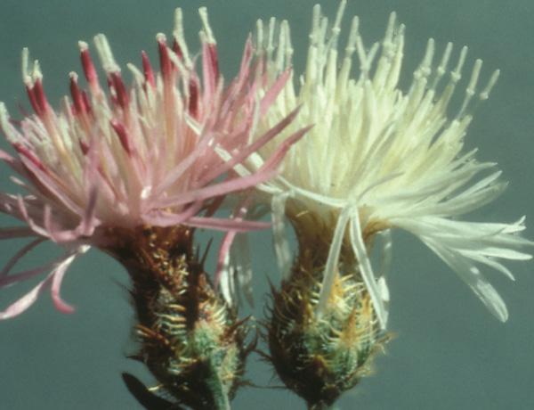 diffuse knapweed,  Centaurea diffusa   *details*