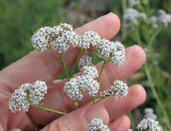 perennial pepperweed,  Lepidium latifolium    *details*