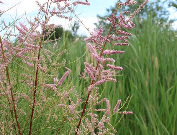 saltcedar,  Tamarix ramosissima   *details*