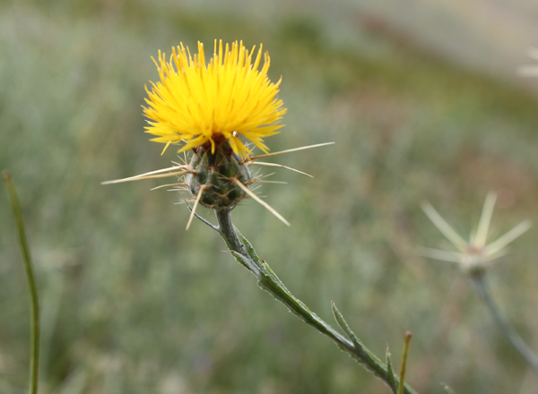 yellow starthistle,  Centaurea solstitialis   *details*