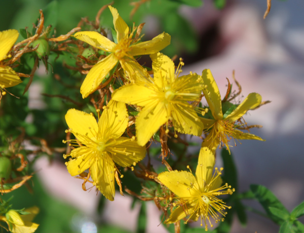 common St. Johnswort,  Hypericum perforatum     *details*