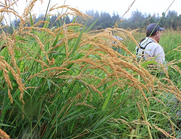 reed canarygrass,  Phalaris arundinacea    *details*
