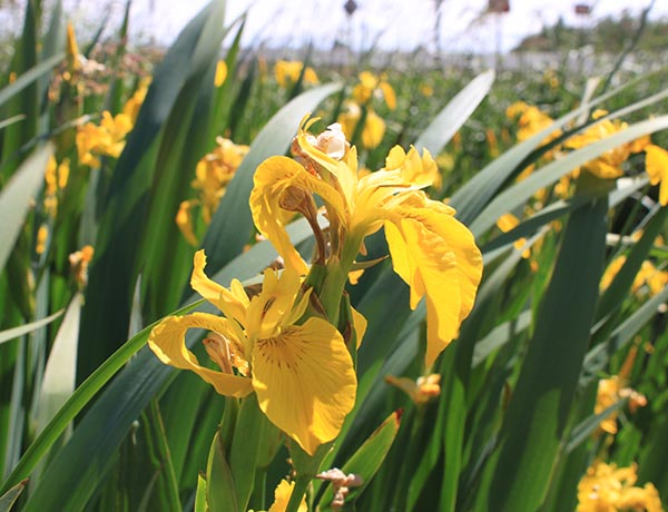 yellow flag iris,  Iris pseudacorus   *details*