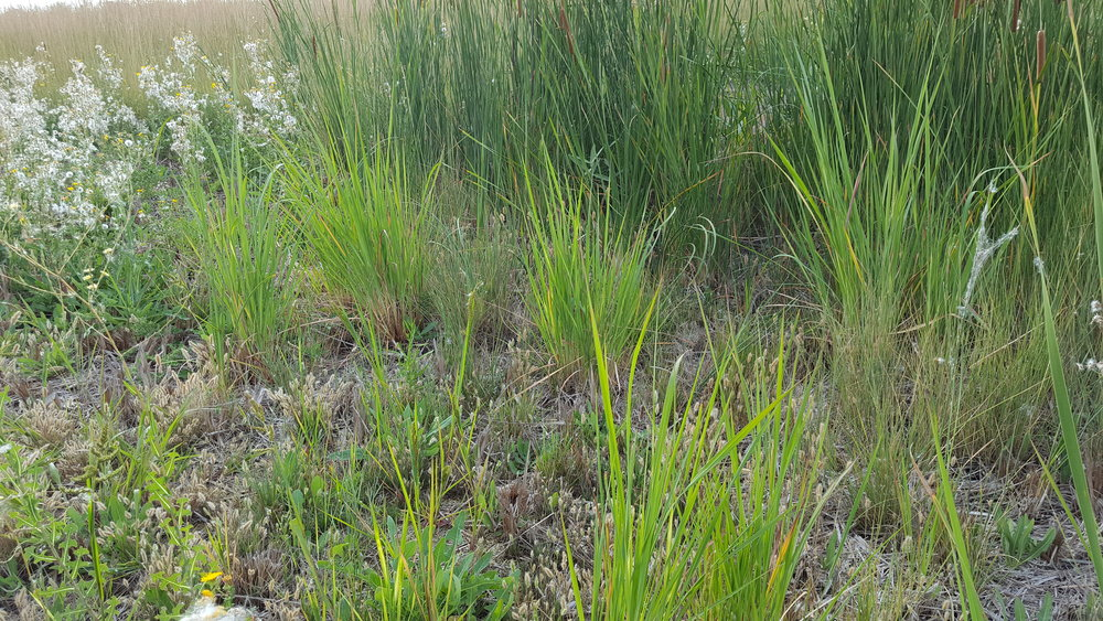 Ravenna Grass Growing in Median
