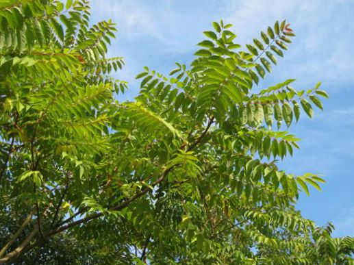 62-170-tree-of-heaven-chinese-sumac-stink-tree-b.jpg