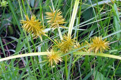 Yellow Nutsedge After Flowering