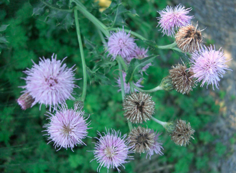 Canada Thistle.png