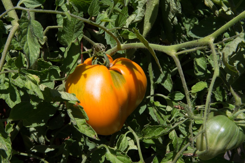 Orange Oxheart Tomatoes