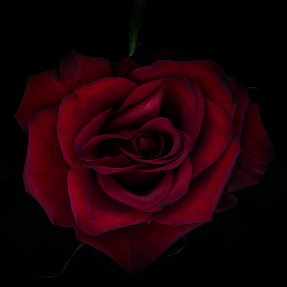 heart red rose.png