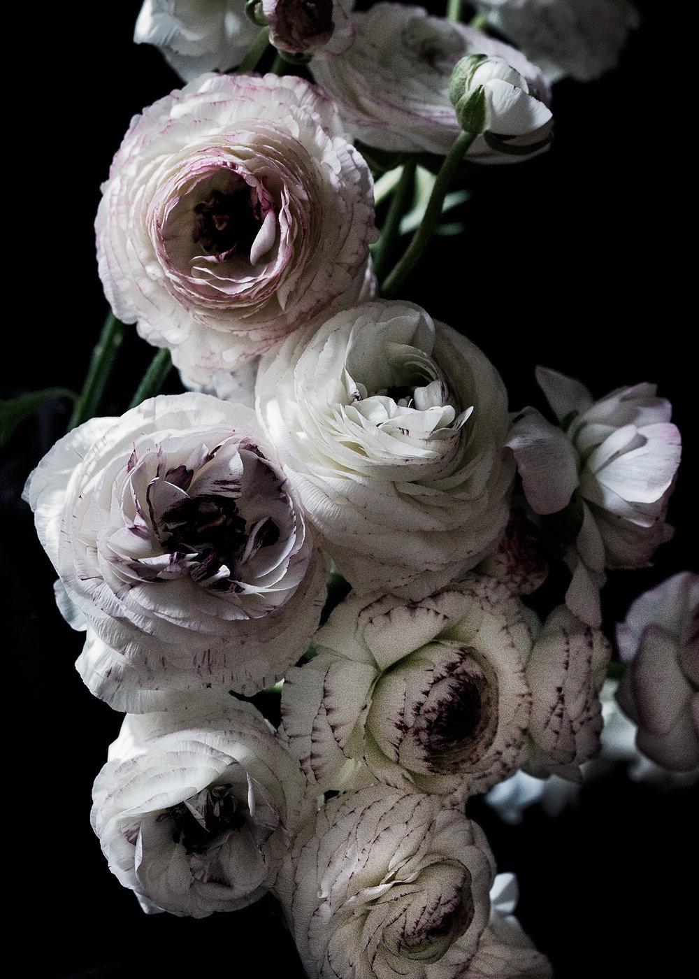 Dark ranunculus floral art_DSC0678.jpg