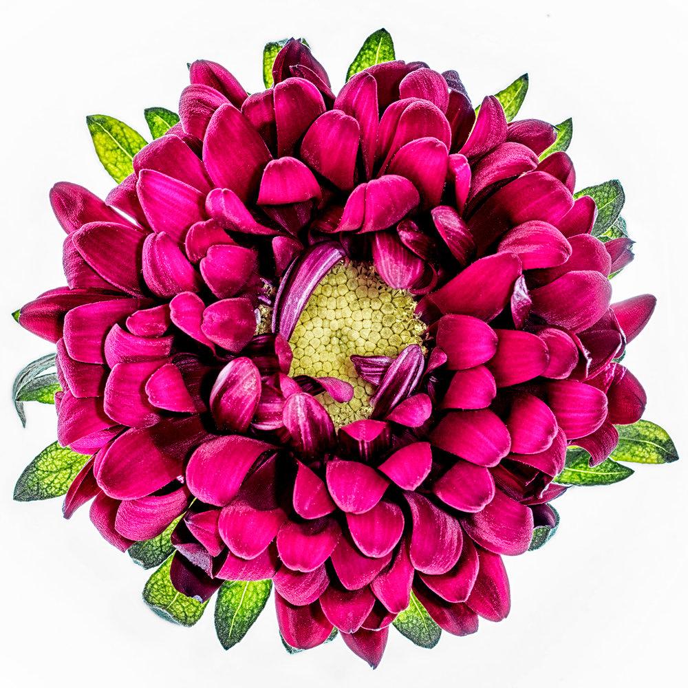aster daisy.jpg