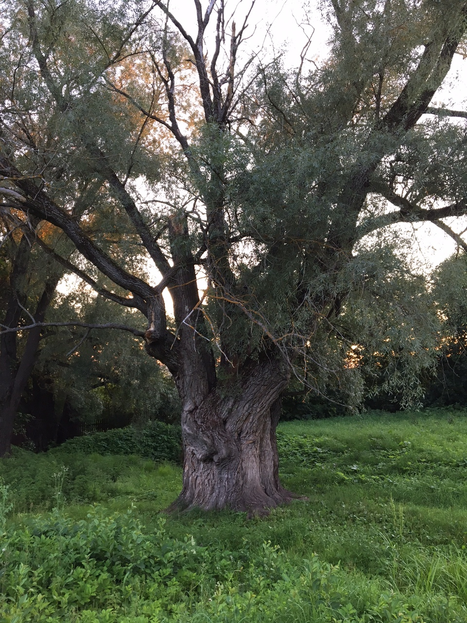 This weeping willow is one of a few trees that remember Pushkin himself. It is enormously big; sadly the photograph can't fully convey the feeling.