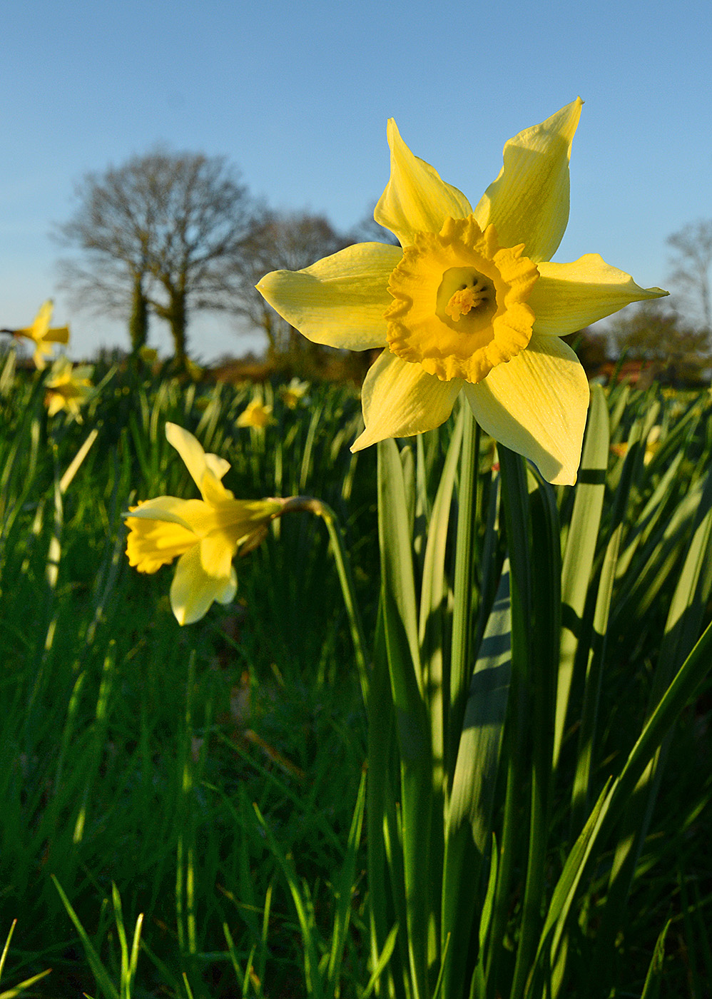 Daffodils Newent NCR