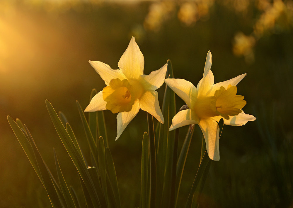 Kempsey Daffodils NCR