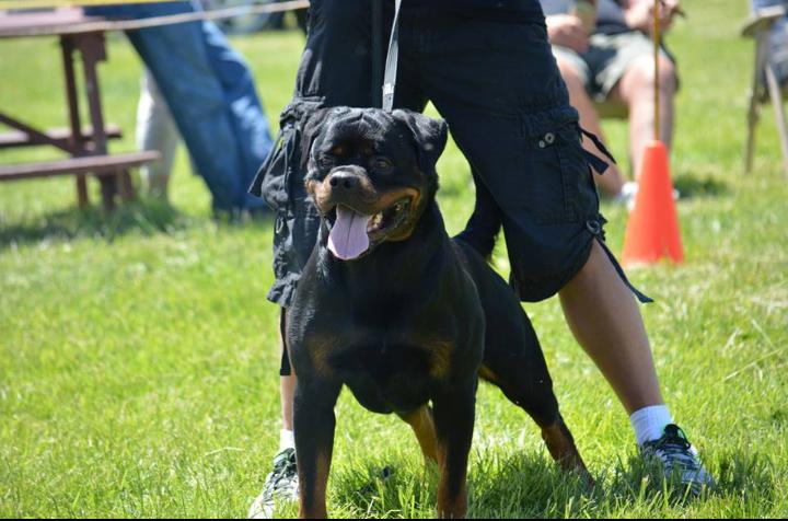 Rottweiler puppy breeders