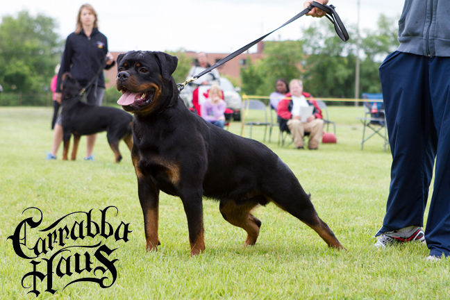 Arnold vom Brukroft VP1 & Best Puppy at the RKNA/CORK show in