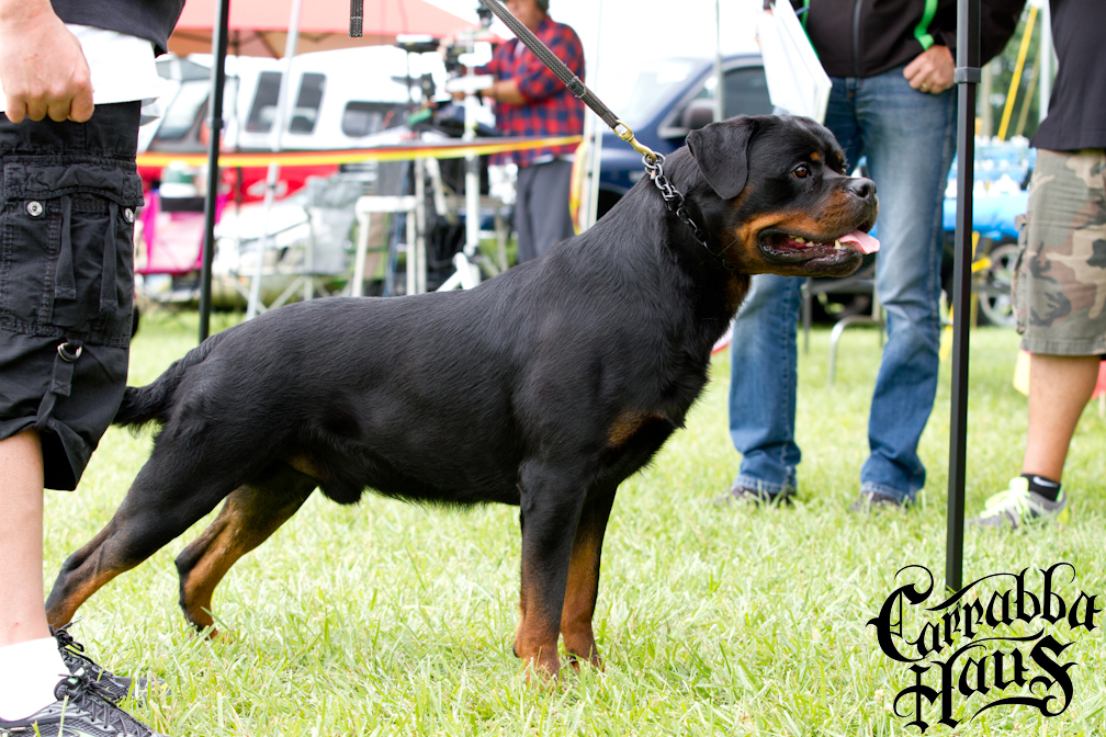 Edge V Carrabba Haus V1 Open Class Male Best Male In Show Best Stud