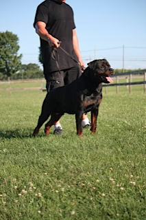 Purebred German Rottweiler New York