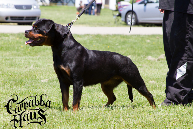 rottweiler dogs New York