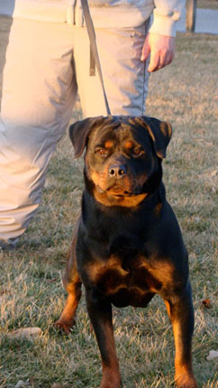 rottweiler breeders New York
