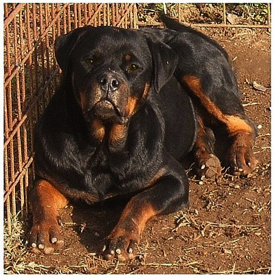 German Rottweilers New Jersey