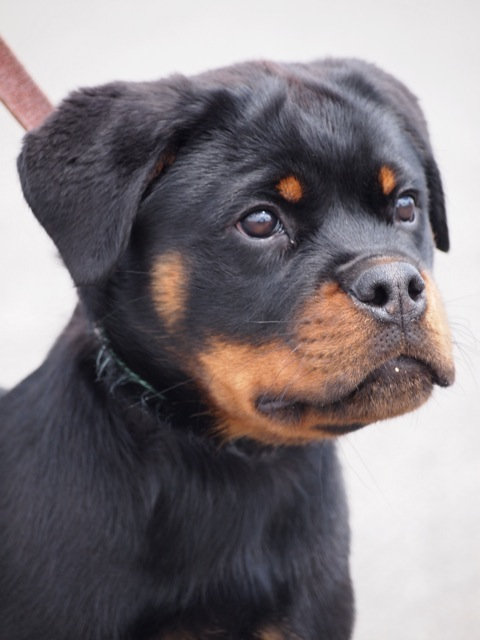Purebred German Rottweilers From Top Breeders In New York Carrabba