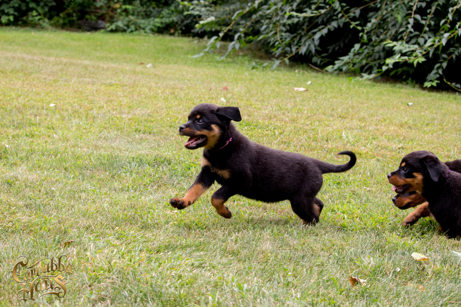 Carrabba Haus - Rottweiler breeder in New York. Rottweiler puppies for sale in Carrabba Haus kennel