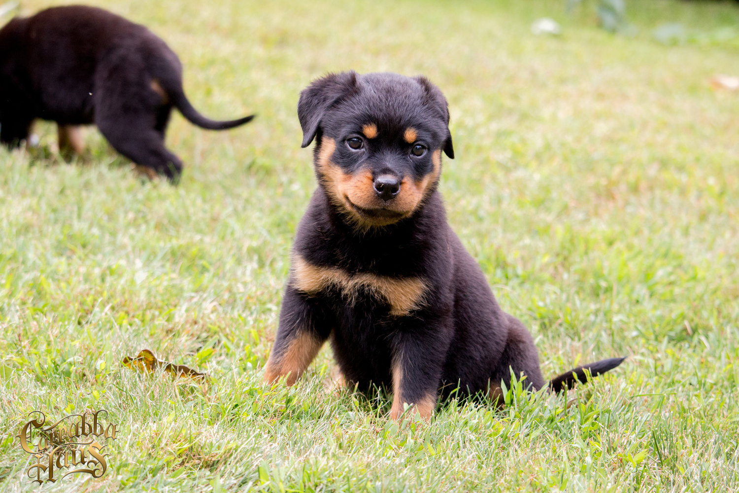 Rottweiler Puppies For Sale Carrabba Haus Rottweilers German