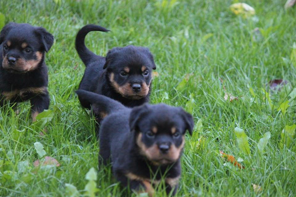 Carrabba Haus German Rottweiler Puppies for Sale