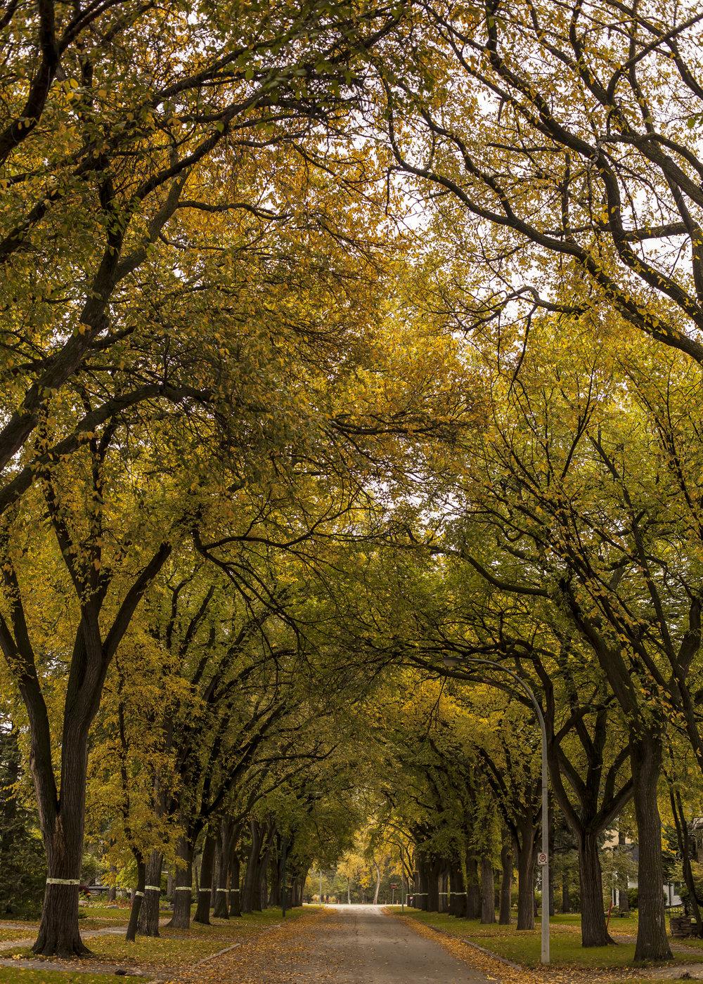 A classic sight in Winnipeg. Elm trees lining a street near Assiniboine Park.