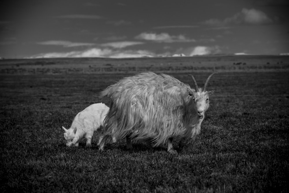 A wild Bantha and its baby getting nourishment from their fodder... okay, maybe it's just an Icelandic goat, but what an amazing coat!