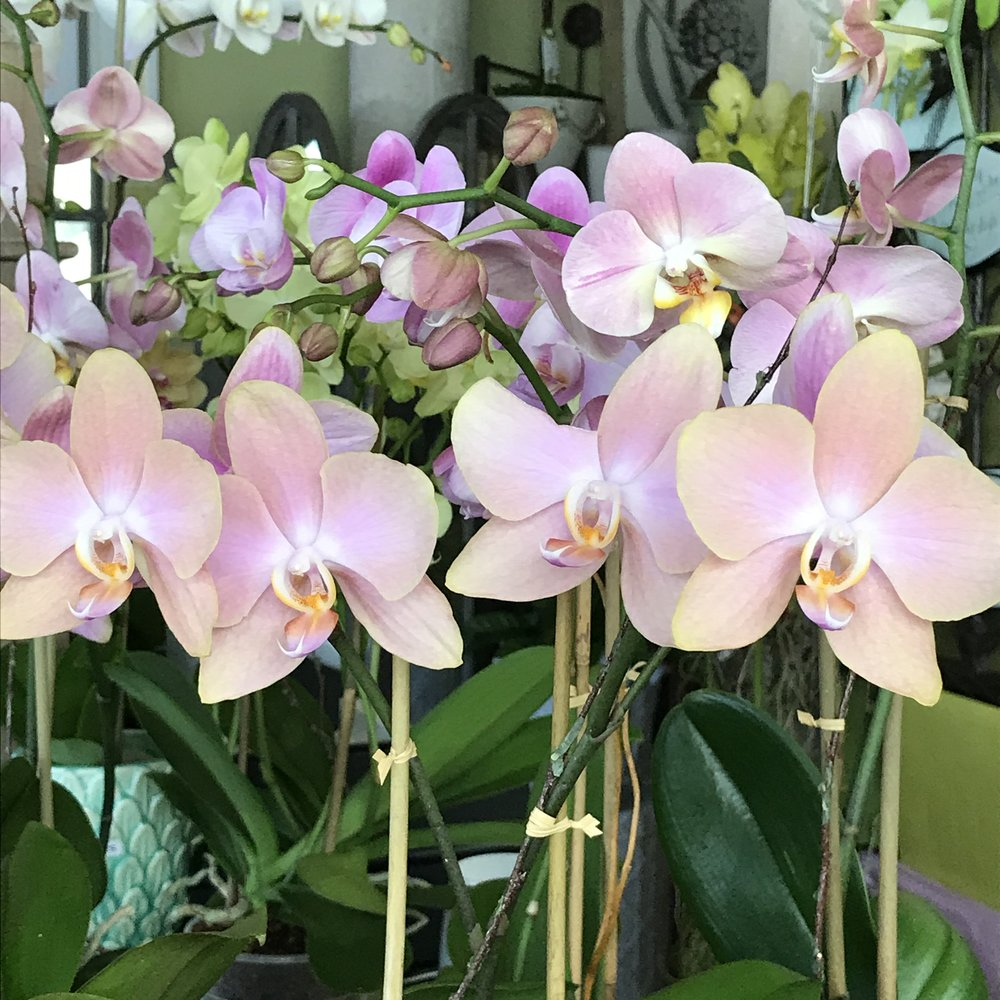 website-orchids-phals.JPG