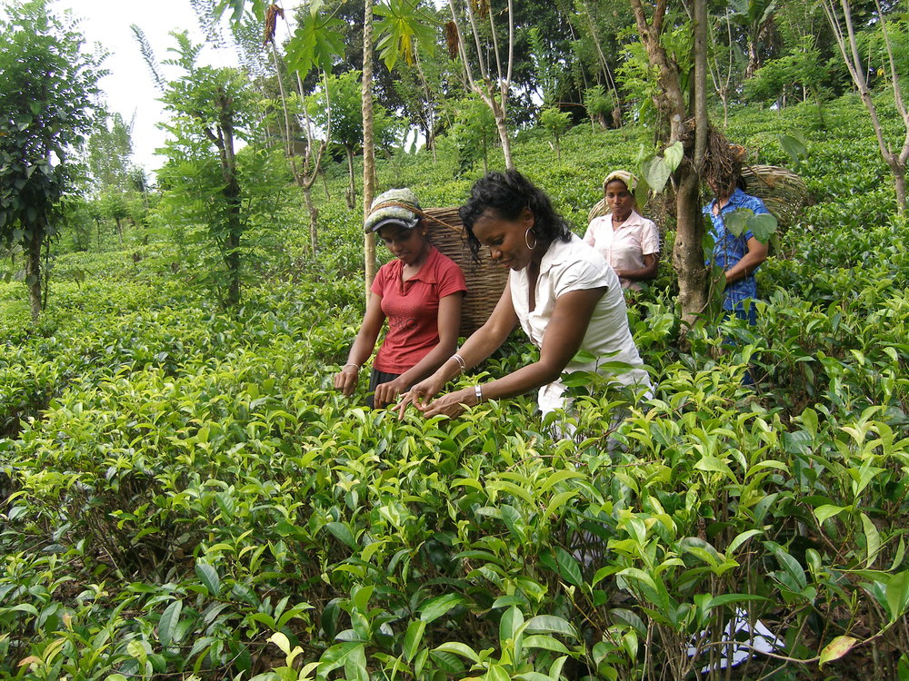 Monaqui and tea workers picking tea.jpg