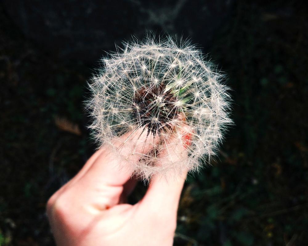 hand-garden-flower-dandelion.jpg